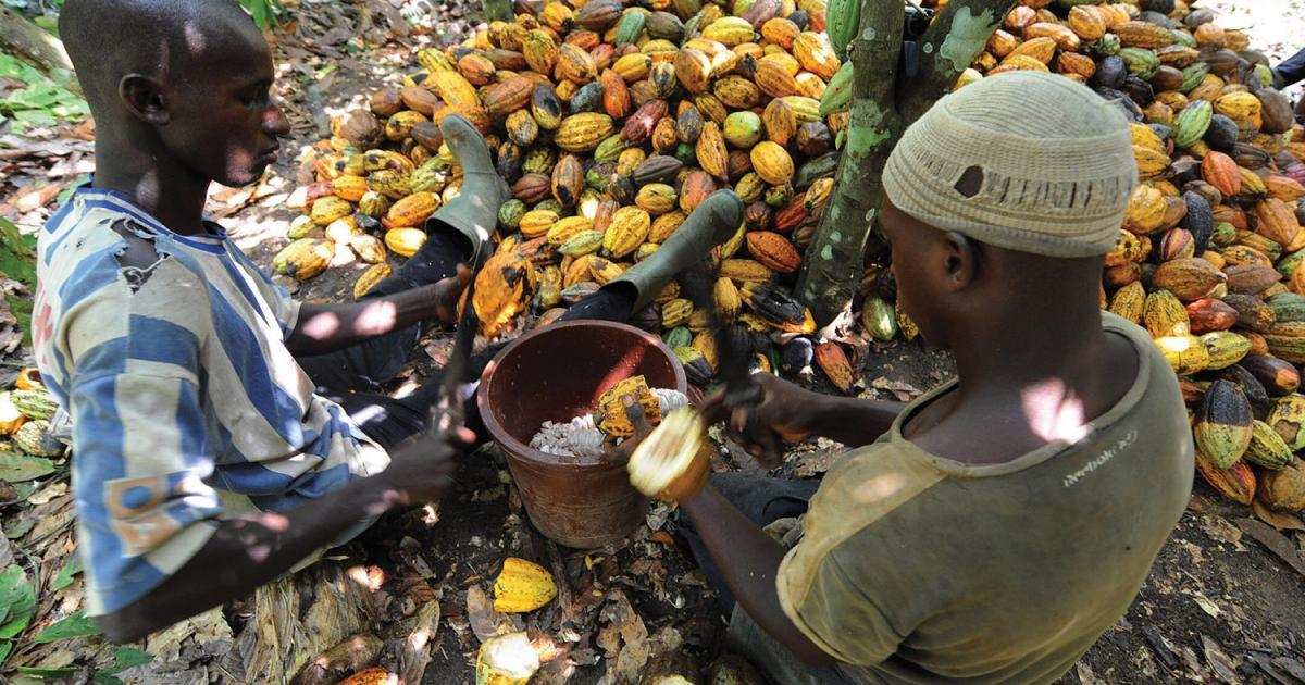L'Etat baisse fortement le prix du cacao — Côte d'Ivoire