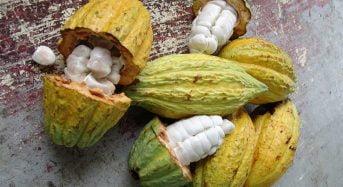 Le prix d'achat au producteur de cacao en Côte-d'Ivoire maintenu à 700 francs CFA