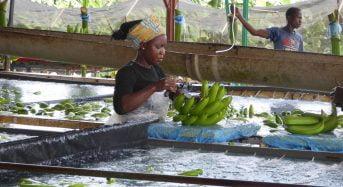 Consommation de la banane dessert en Côte-d'Ivoire: Ocab et Obamci lancent l'offensive auprès du public