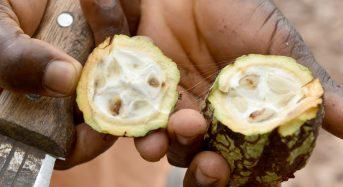 Côte d'Ivoire: Des chenilles menacent la récolte intermédiaire de cacao dans le Sud