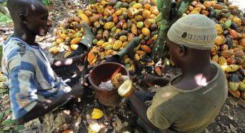 Les fortes pluies en Côte d'Ivoire pourraient faire baisser le rendement des plantations de cacao
