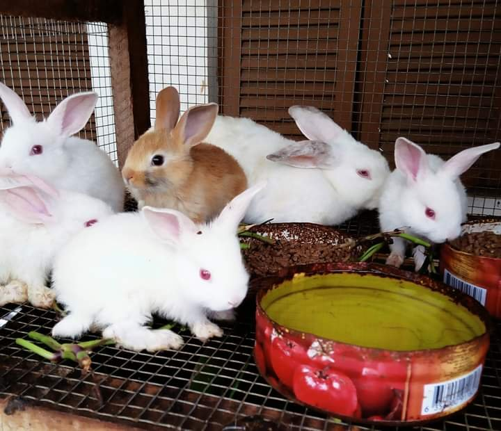 """In Abidjan in Ivory Coast """"we must save the rabbit industry"""" following the discovery of a hemorrhagic fever"""